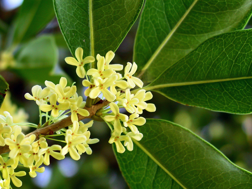 12 Health Benefits Of Osmanthus Tea