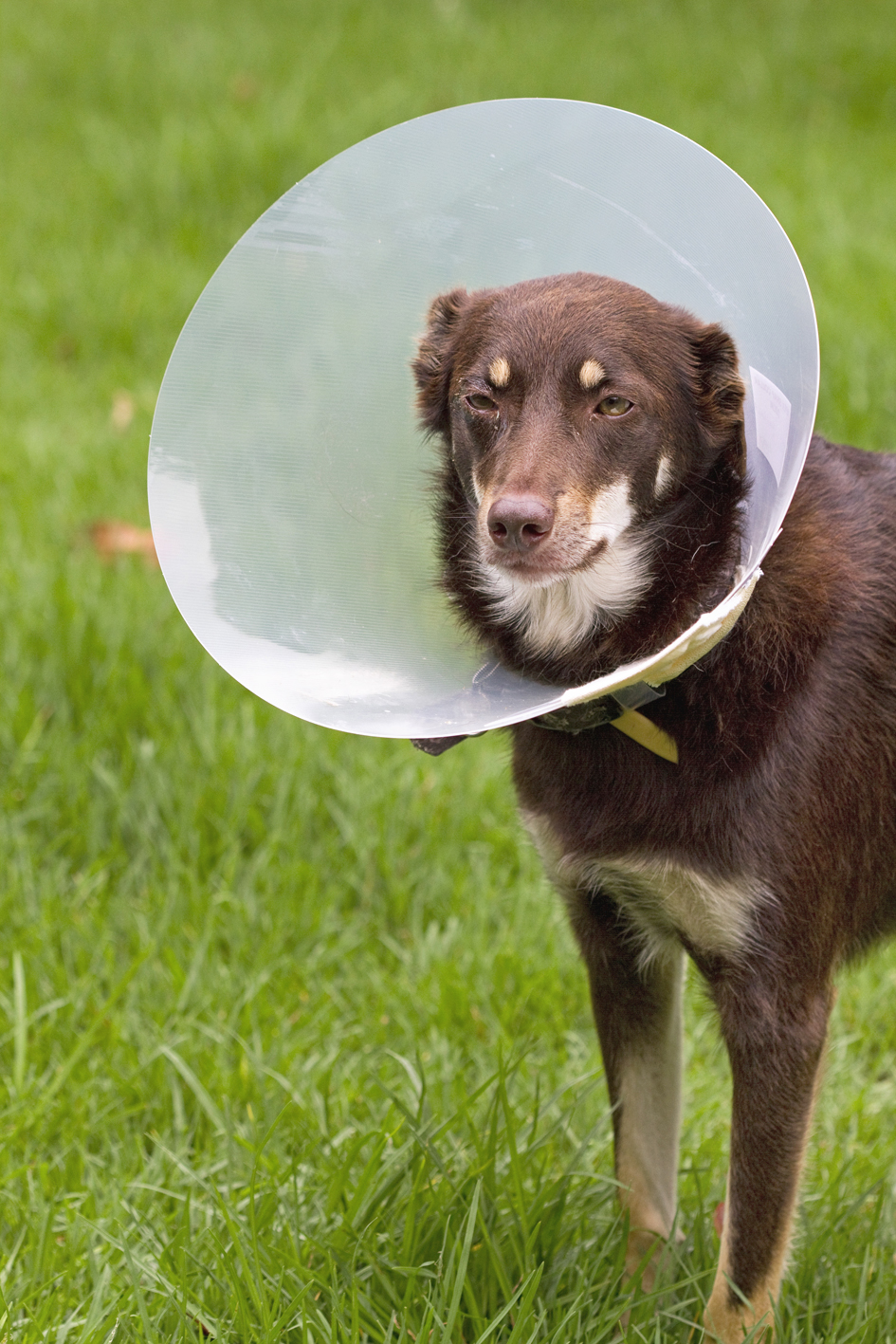 Using a dog cone collar after surgery