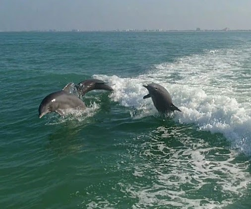 Florida's Gulf Coast's Main Attraction; The Bottlenose Dolphin.