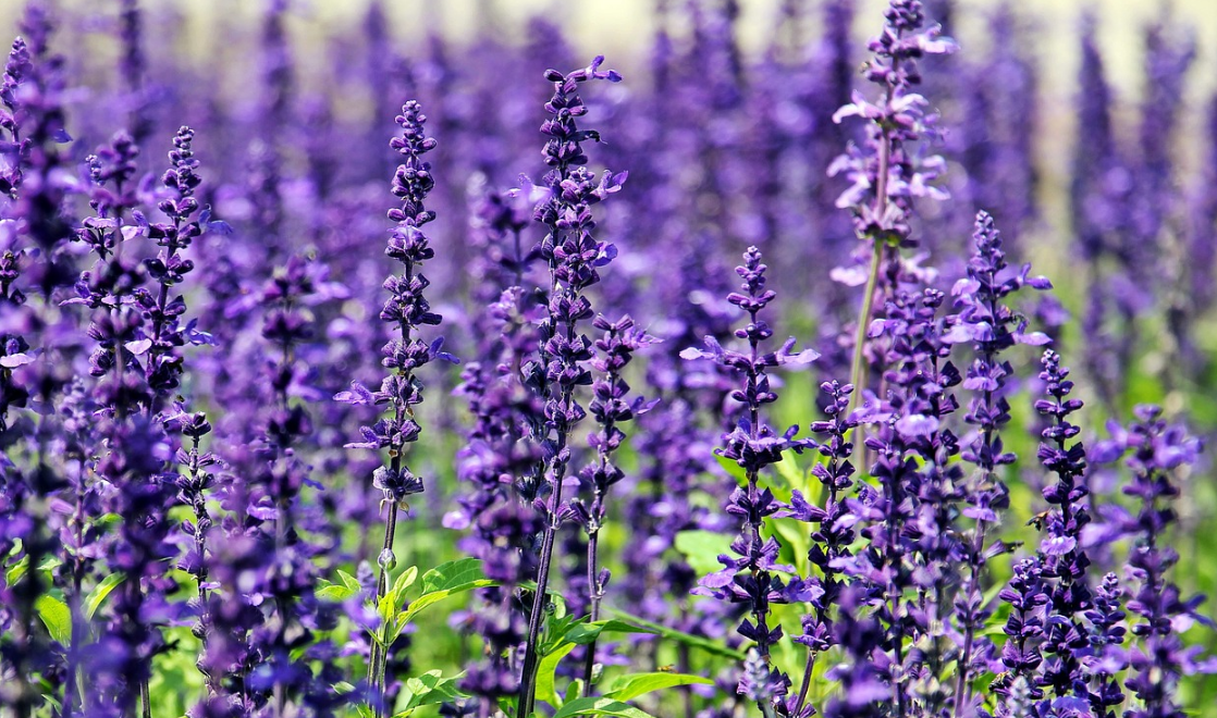 10 FLOWERS THAT SERVE AS NATURAL PEST CONTROL