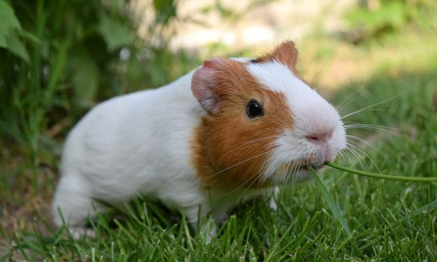 Has a cute pet guinea pig recently become your new family member?