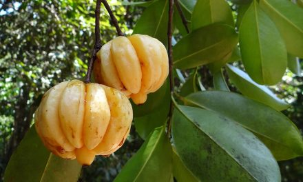Garcinia Cambogia – Its Uses and Possible Side Effects