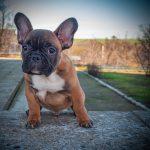 The Most Popular Bulldog Breeds