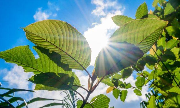 Essentials to know about Green Maeng Da Kratom
