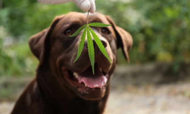 How to Choose The best CBD Oil for Your Dogs